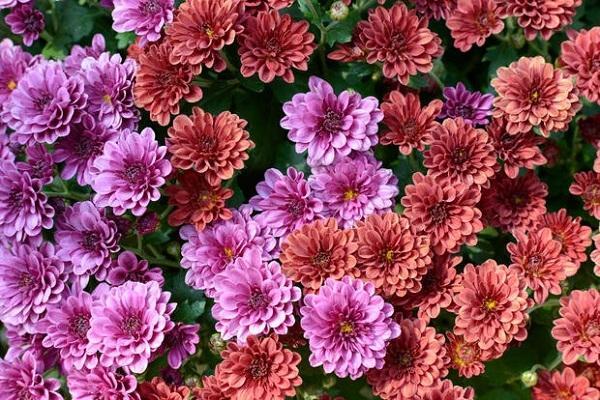 Varietà di Crisantemo