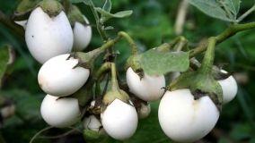 Pianta delle uova