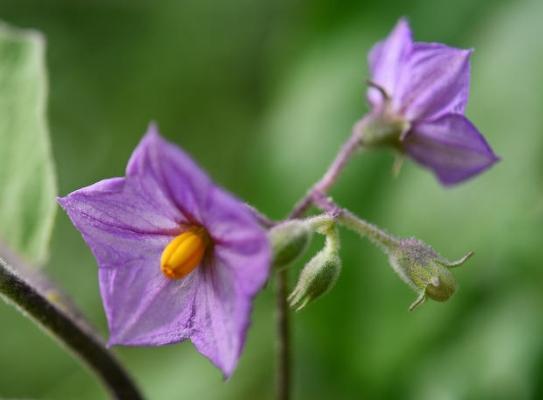 Pianta delle uova, fiori viola
