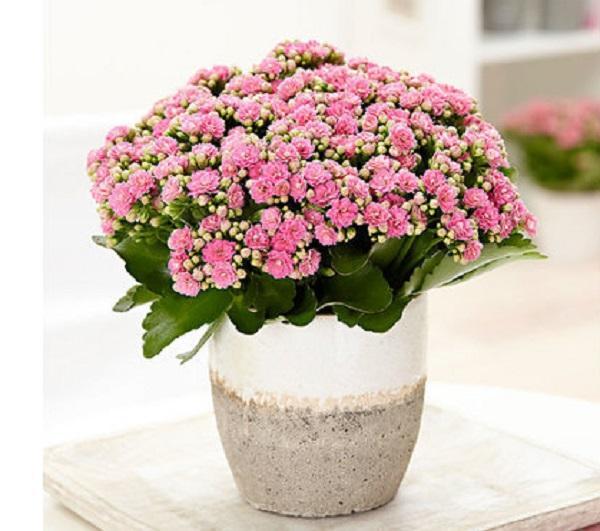 Tra le piante succulente, la kalanchoe è la più indicata in bagno