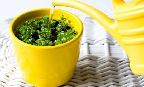 Le piante da bagno vanno annaffiate con moderazione, da leitv