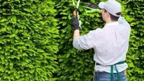 Curare le siepi da giardino