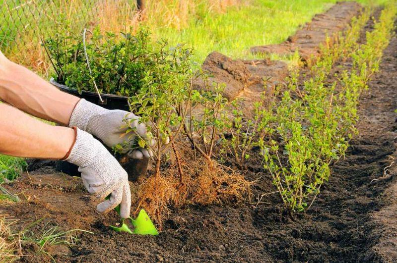 Piantare le siepi in giardino