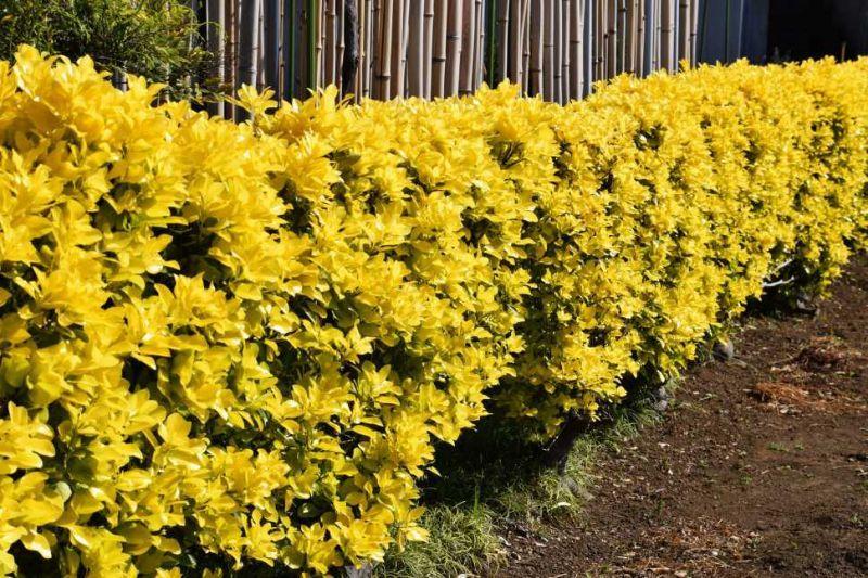 Curare le siepi da giardino for Piante da cespuglio