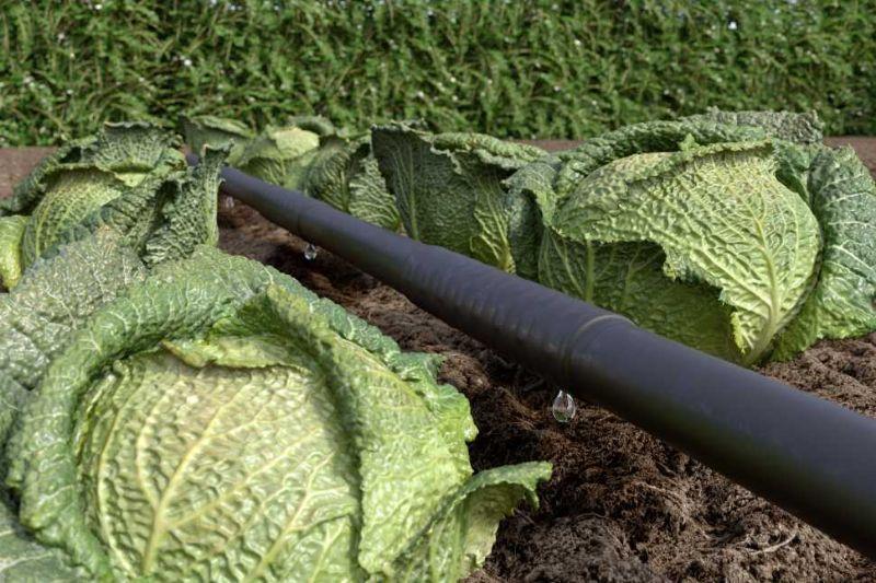 Piante da siepe irrigazione