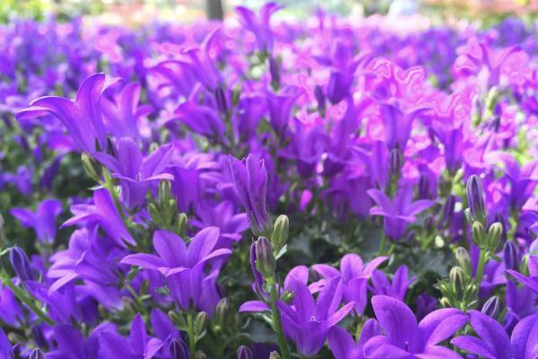Distesa di campanule colorate by Floricoltura Quaiato