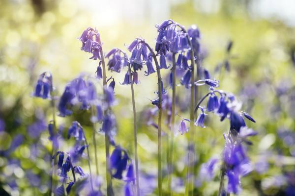 Campanule lilla