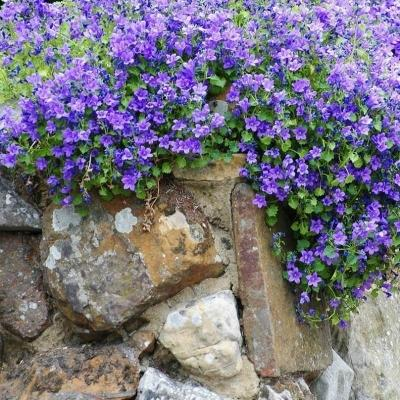 Campanula portenschlagiana tipo sin muralis by Un Quadrato di Giardino