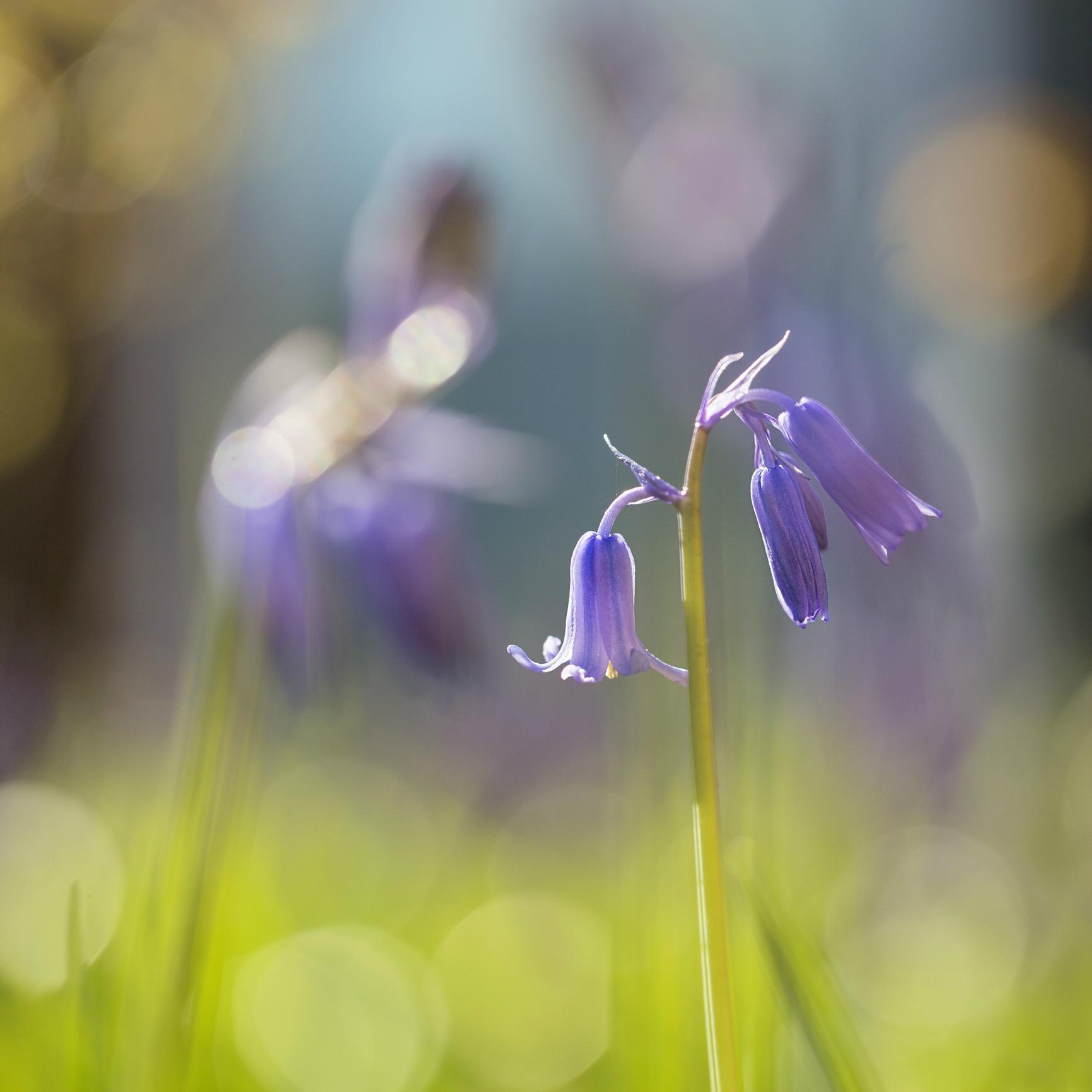 Campanula lilla per giardino