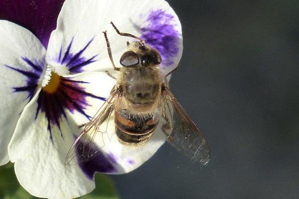 Viola Cornuta e ape
