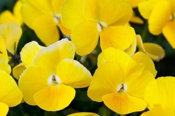 Boccioli di Viola Cornuta gialla