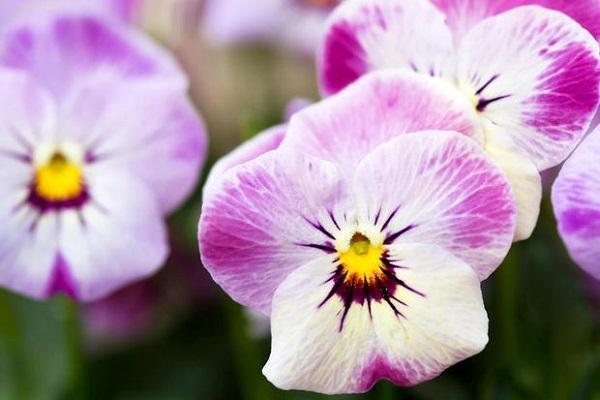 Viola Cornuta bianca e lilla