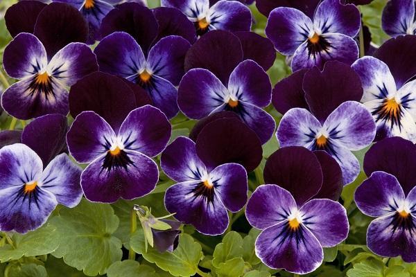Viola Cornuta scura