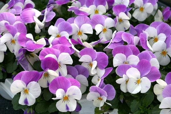 Viola Cornuta lilla