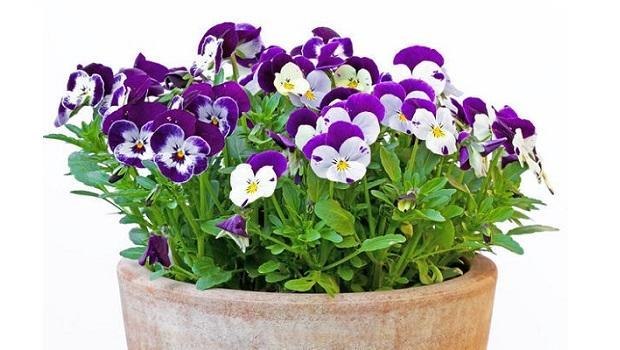Viola Cornuta in vaso