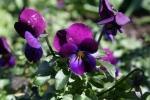 Viola Cornuta lilla da premierseedsdirect.com