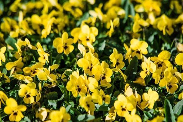 Viola Cornuta gialla