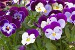 Varietà di Viola Cornuta