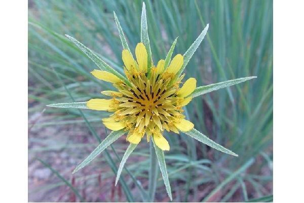 Bocciolo giallo di Scorzonera da awkeardbotany.com