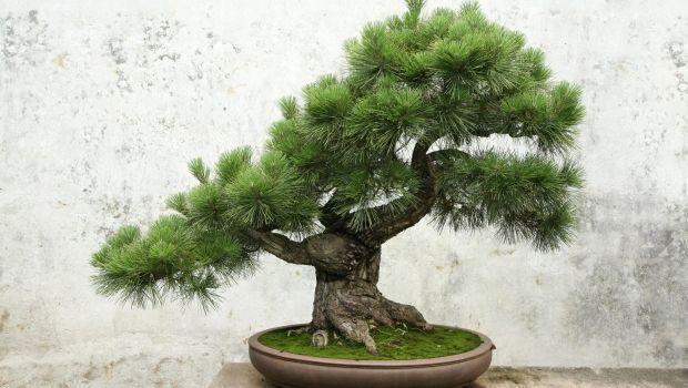 Consigli su come coltivare e irrigare il bonsai di pino