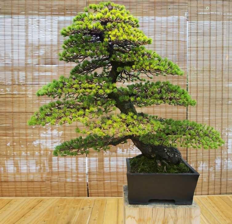 Bonsai di pino