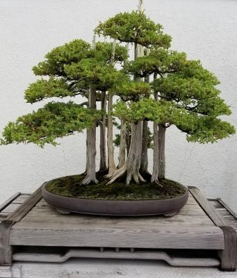 Coltivare il bonsai