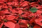Bisogna stare alla larga da piante velenose come la stella di Natale