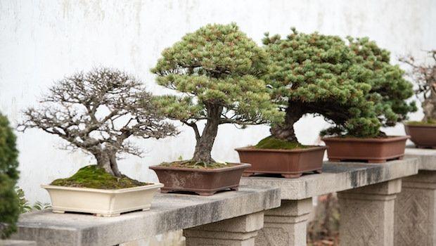 Come prendersi cura di un bonsai: consigli e regole da seguire