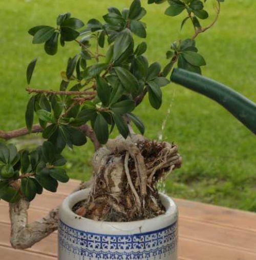 Innaffiatura delle radici del bonsai