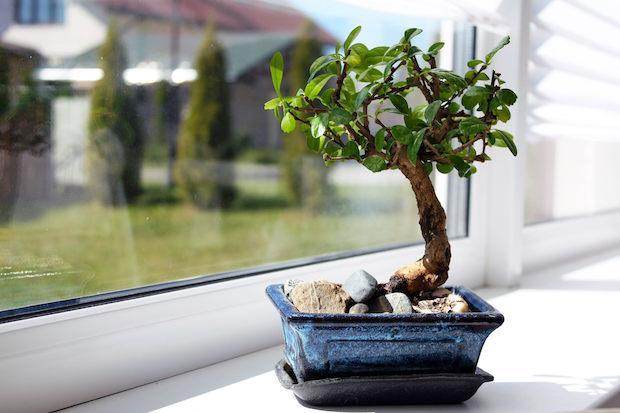 Il bonsai ha bisogno di luce