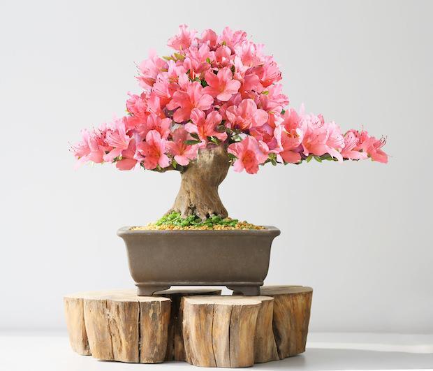 I bonsai vanno rinvasati con tempistiche diverse in base alla specie arborea