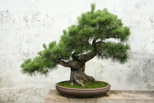 La cura dei bonsai dipende dalla specie arborea