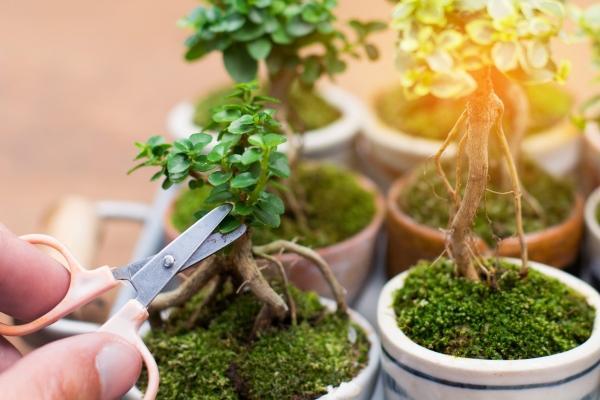 Bastano delle piccole forbici per potare il bonsai