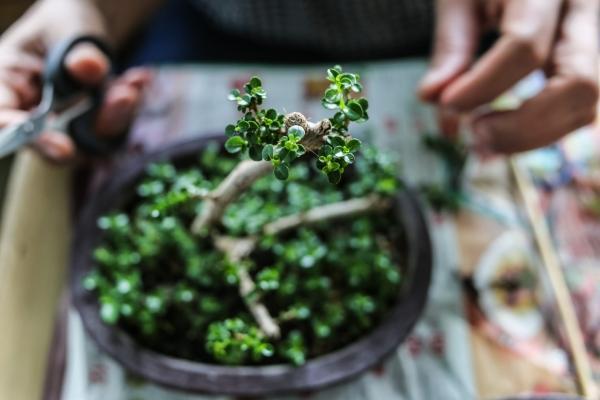 Per valutare il rinvaso basta osservare le radici del bonsai