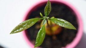 Come coltivare l'avocado sul balcone: regole e consigli utili