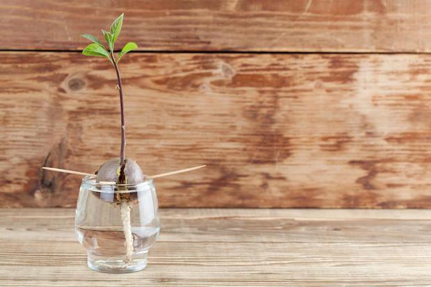 Coltivare l'avocado in balcone: immergere il nocciolo nell'acqua