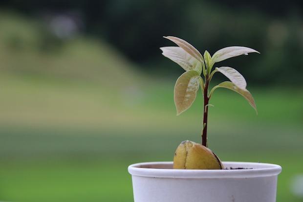 La pianta di avocado ha bisogno di luce e calore
