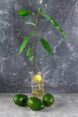 Come coltivare l'avocado sul balcone: germinazione da nocciolo