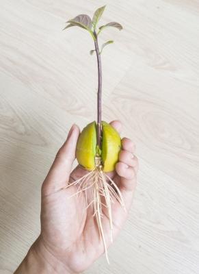 Quando saranno spuntate radici e foglie è tempo di piantare l'avocado in vaso