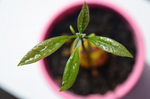 Mettete l'avocado in vaso in un luogo soleggiato e riparato dal vento