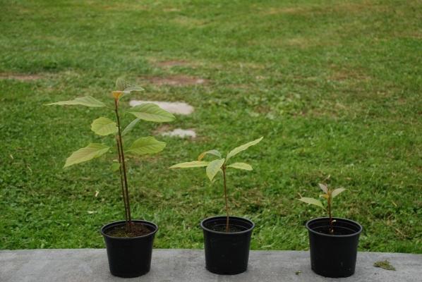Nei primi periodi la pianta di avocado va potata frequentemente