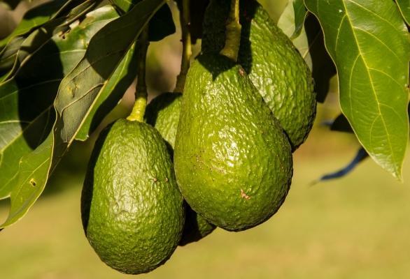 Pianta di avocado con frutti