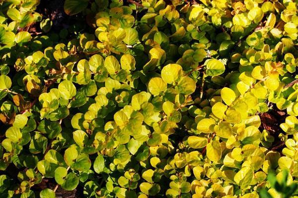 Piante tappezzanti Lysimachia Nummularia
