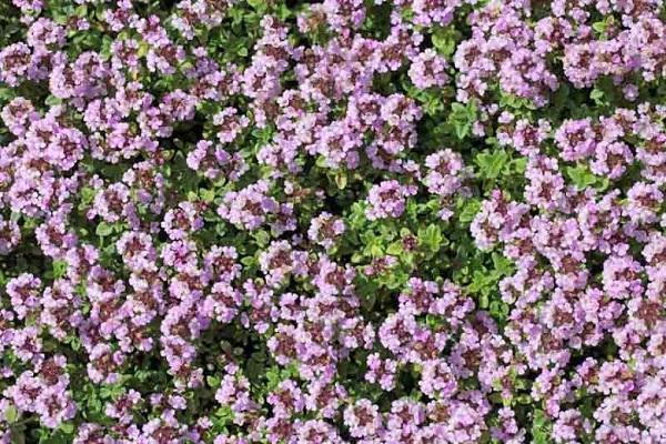 Piante tappezzanti Thymus Serpyllum da gardenia.net