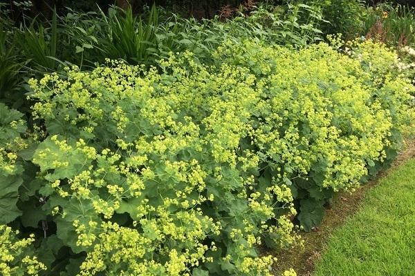 Piante tappezzanti per il giardino Alchemilla da Ballyrobertgardens.com