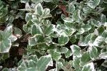 Tappezzanti edera variagata da Rwa-watersavingplants.com