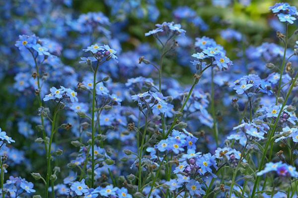 Non ti scordar di me fiore azzurrino