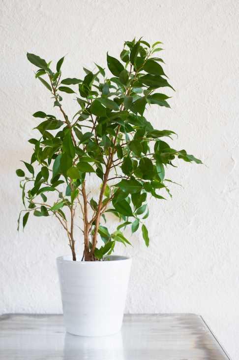 Ficus Benjamina in vaso