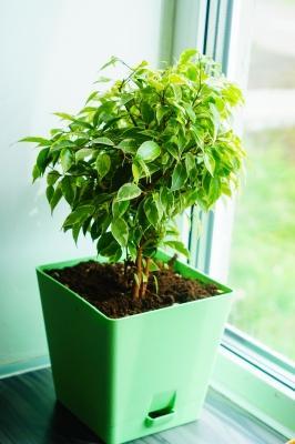 Ficus benjamin, la pianta super resistente