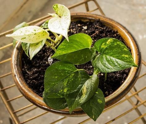 Pothos, la pianta che purifica l'aria